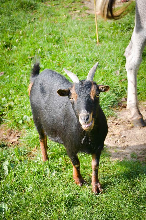 chèvre, pays d'auge, calvados